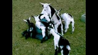 Soft Baby Goat Love Pile