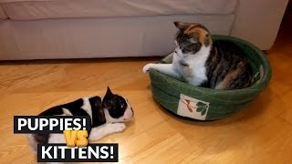 Cute Puppy Wants To Steal Bed From Cat