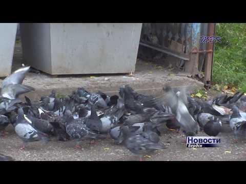 Городские голуби - символ мира или переносчики опасных болезней?