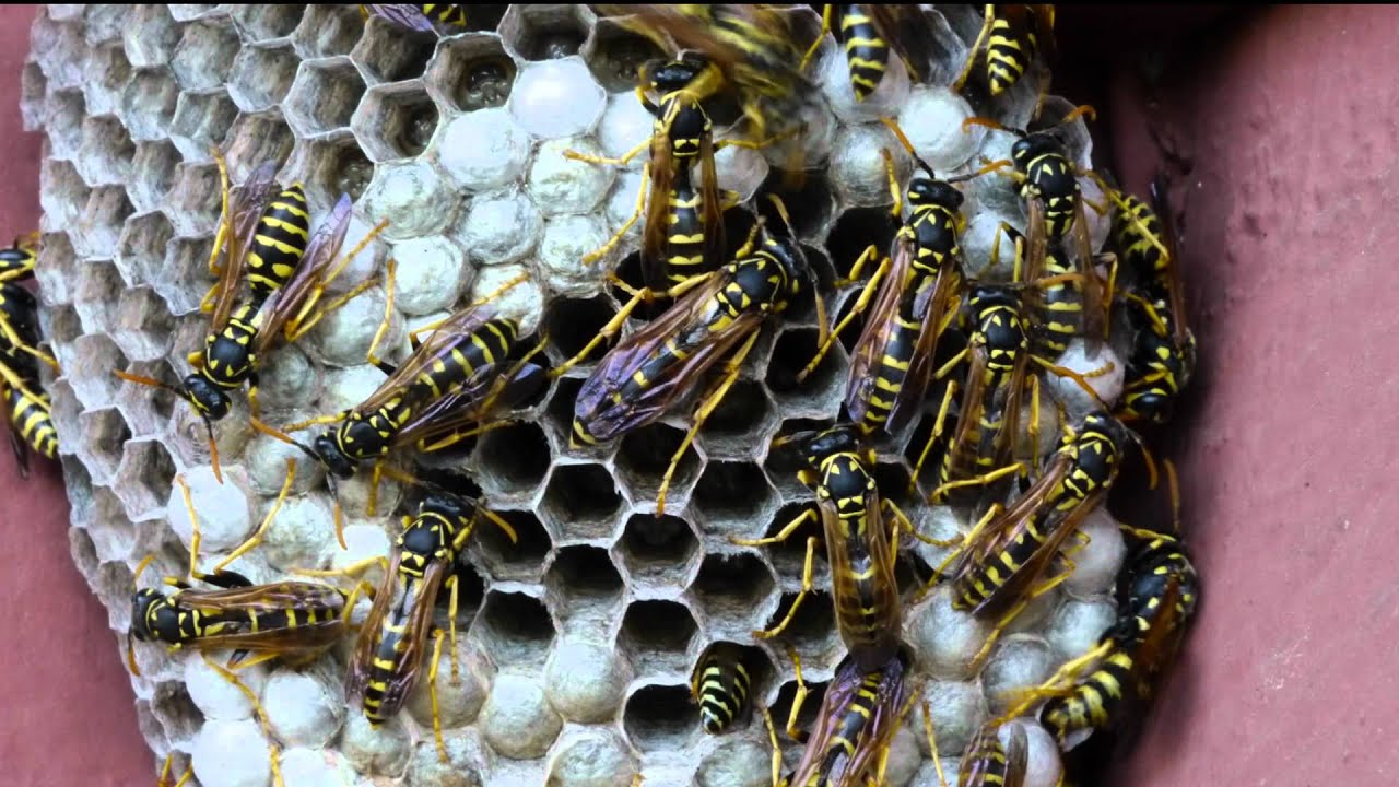 paper wasps nests Juveniles - juvenile paper wasps take the form of larvae and pupae, and, like wasp eggs, will remain within the nest until they are fully developed when larvae cover their cells and become pupae, they are getting close to maturation.