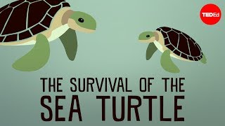 TedEd: The Survival of the Sea Turtle