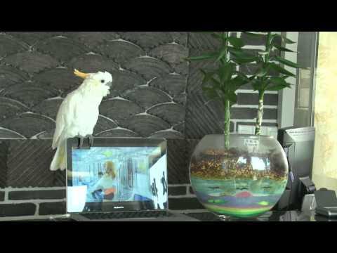 """Papagaj peva """"Gangnam style"""" :)"""