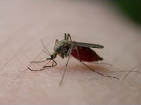 Genetic engineering might eliminate malaria!
