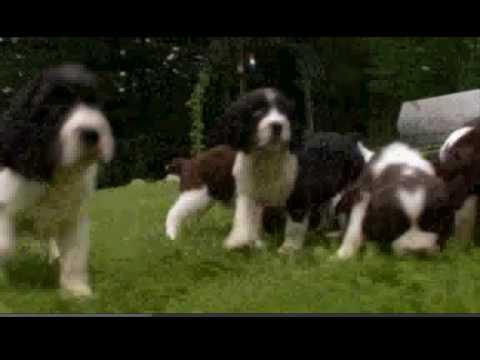 Dogs 101 English Sprin...