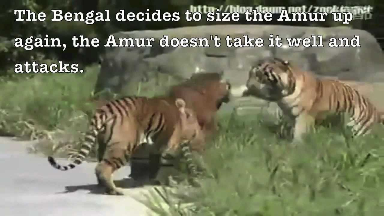 Siberian Tiger Vs Bear Bengal tiger losing to hybrid-