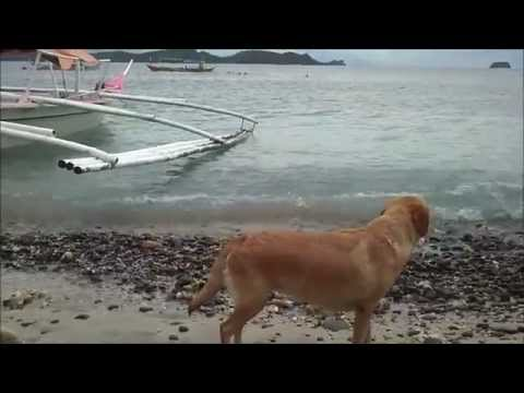 Bella, an awesome Labrador, in Anilao, Batangas, beautiful and sunny Philippines