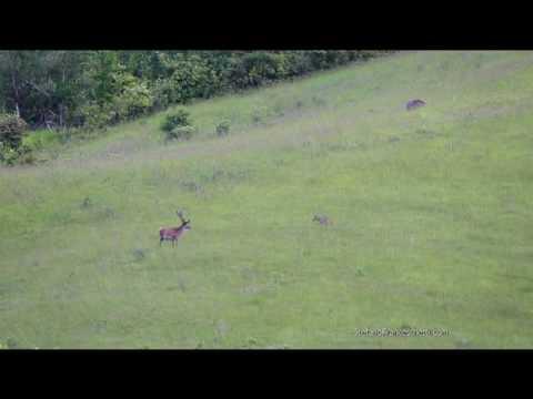 Lupo contro cervo...e arriva anche il cinghiale! (Wildboar vs wolf)