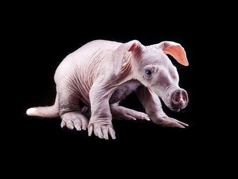 5 Loài Lợn Kỳ Lạ Nhất Trên Thế Giới