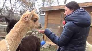 Épisode 2: Des début timides avec l'entrainement de nos Alpagas