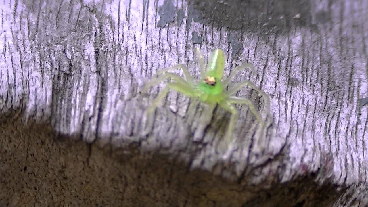 Lyssomanes viridis - Jumping Green Spider (Lyssomaninae) Aranha verde