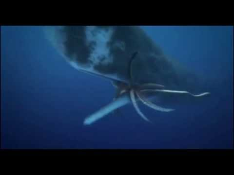 Bull Sperm Whale Vs Female Colossal Squid
