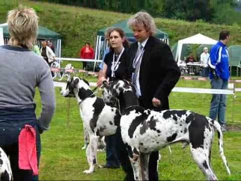 Concours canin, dogues allemands