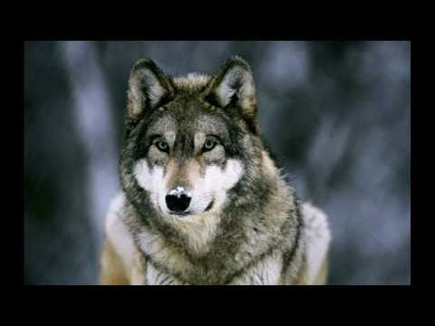 Wolves - Howling - In Nature, Magnificent wolves howling in the natural world.