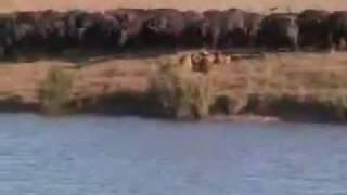 Pelea De Animales Bufalo,leon Y Cocodrilo