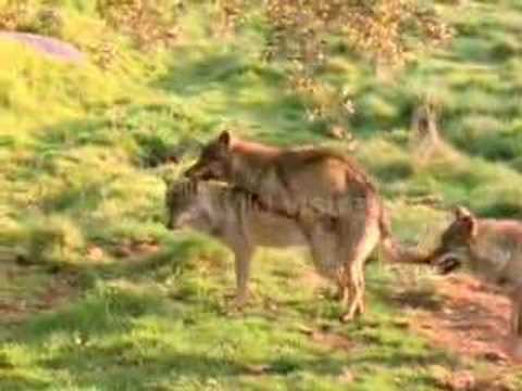 Wolf Mating - YouTube
