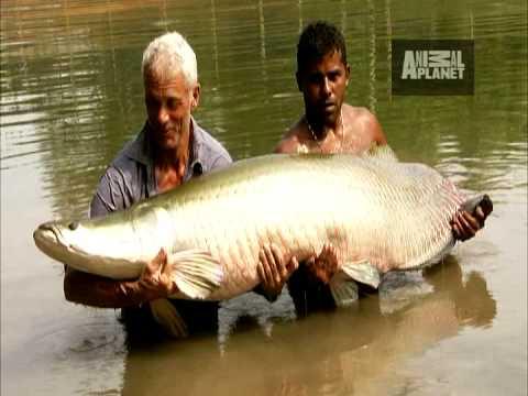 River Monsters - Battling an Arapaima - YouTube
