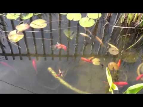 Reproduccion de peces japoneses en estanque youtube - Estanques para peces ...