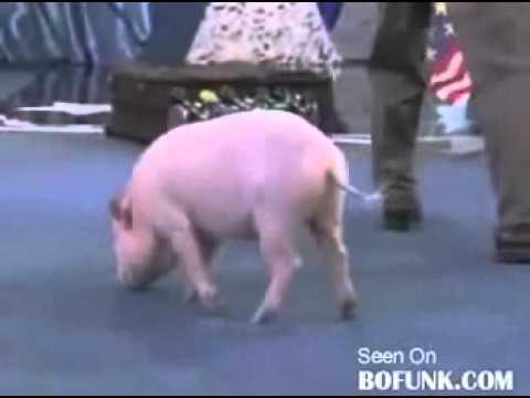 Xiếc lợn hay nhất Thế giới !!!
