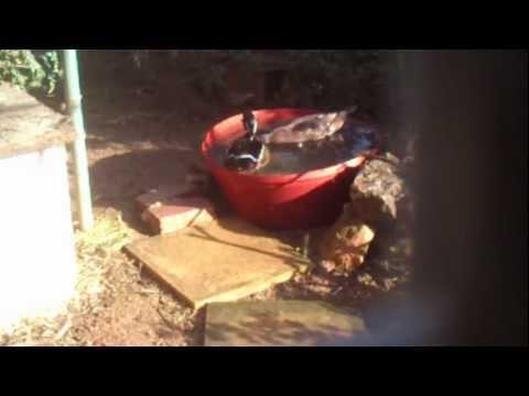 Ζευγαρι Παπια Καρολινας (Wood Duck)
