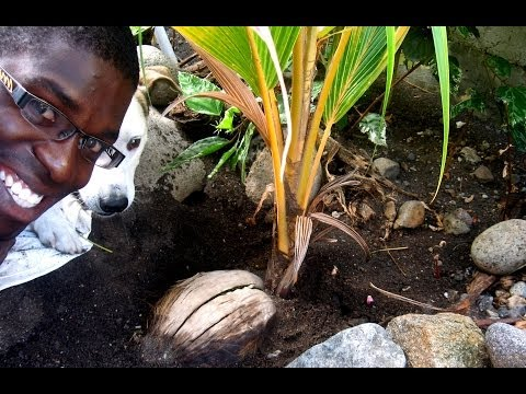 How to plant a coconut (Advice): Agrosuede Backyard Gardening