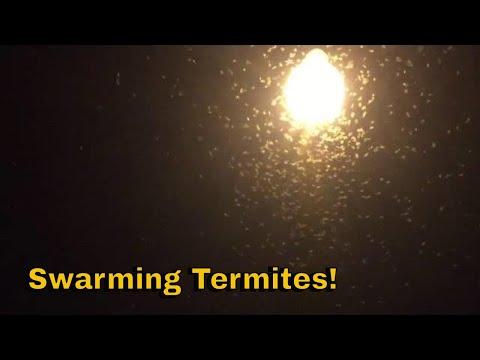 Formosan Termites Swarming On A Saturday Night