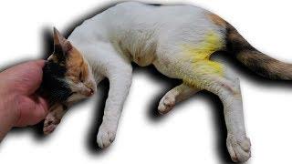 NTN - Cứu Sống Con Mèo Bị Trộm Bẫy Sắp Chết ( Cat Rescued )