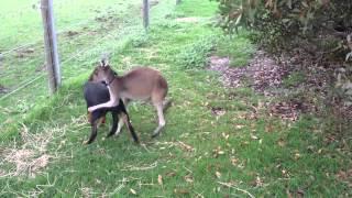 犬をかわいがるカンガルー