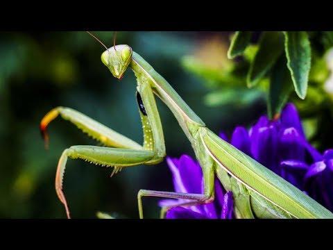 Praying mantis is hunting honey bees. Fast attack.