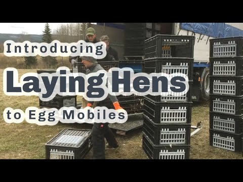 800 Laying Hens arrived today