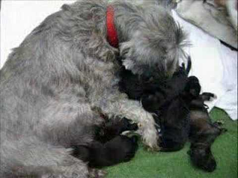 Cachorros Schnauzer recien nacidos