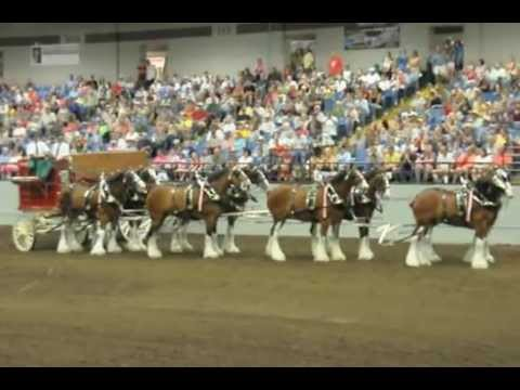 Budweiser Clydesdales open the Draft Horse Show