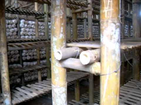 kumbung jamur tiram , oyster mushroom bogor , indonesia