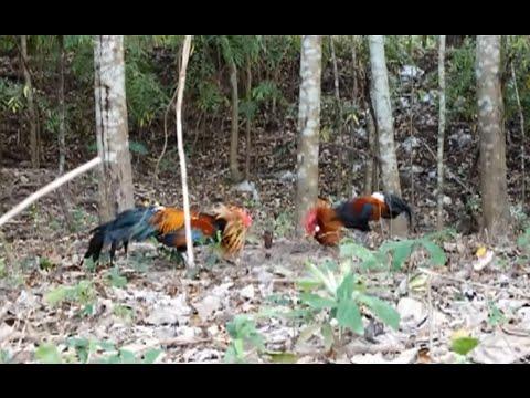 Bẫy gà rừng thái lan