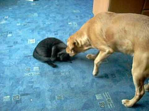 smieszna  walka kota z psem