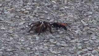 Tarantula Hawk gets a Tarantula - Part 2
