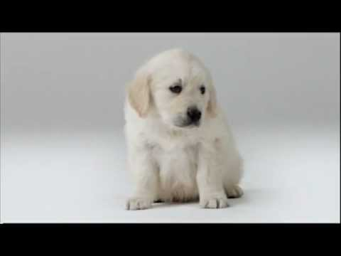 Very cute puppy in Assistance Dogs ad