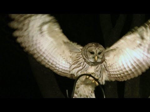 Barred Owl Amazing 1080 HD FYV