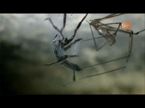 Monster Bug Wars- Cellar Spider Vs. White-Tailed Spider