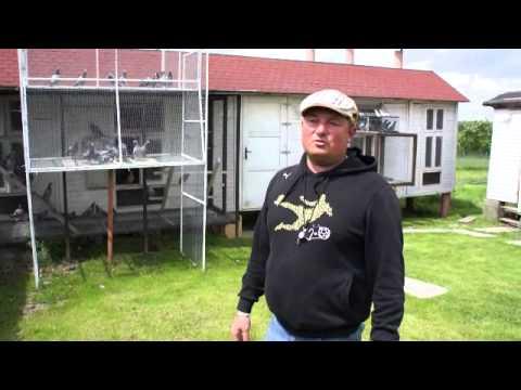 Dominik Palarski - oddział PZHGP - 0417 - Milicz - gołębie młode - 18.05.2013r.