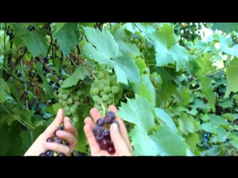 Come Out to the Farm: Grapes