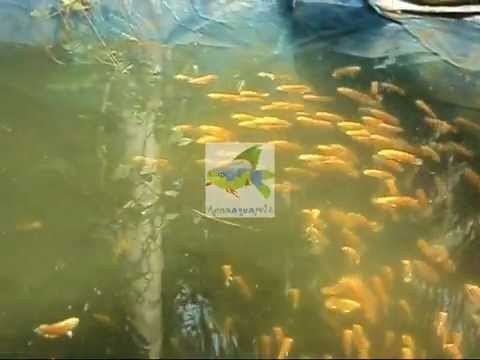 Anna Aqua Pets - Ornamental fish farm in Kottat - Chalakudy - Thrissur DT- Kerala -India