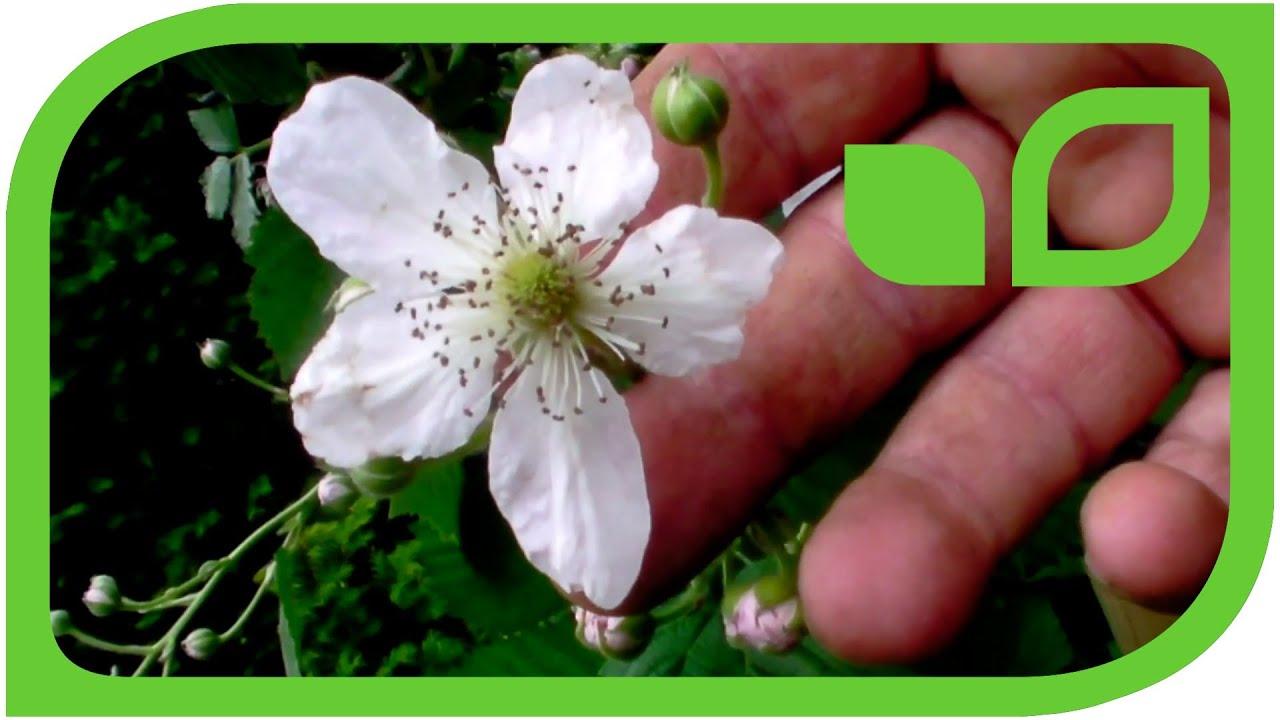 Abbildung und Beschreibung von Abelia triflora