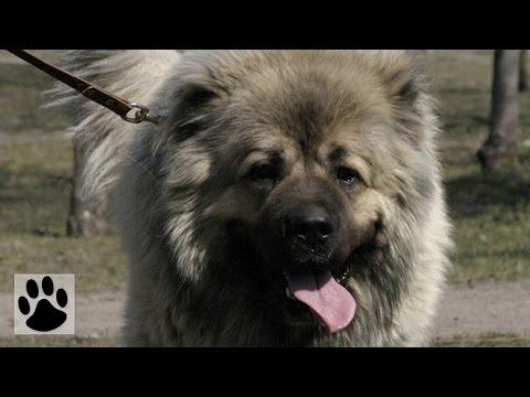 Породы собак - Кавказская овчарка. [Caucasian Shepherd Dog (Animal Breed)]