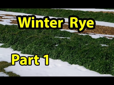 Winter Rye Cover Crop Test Trial for No Till Organic gardening 101. Part 1
