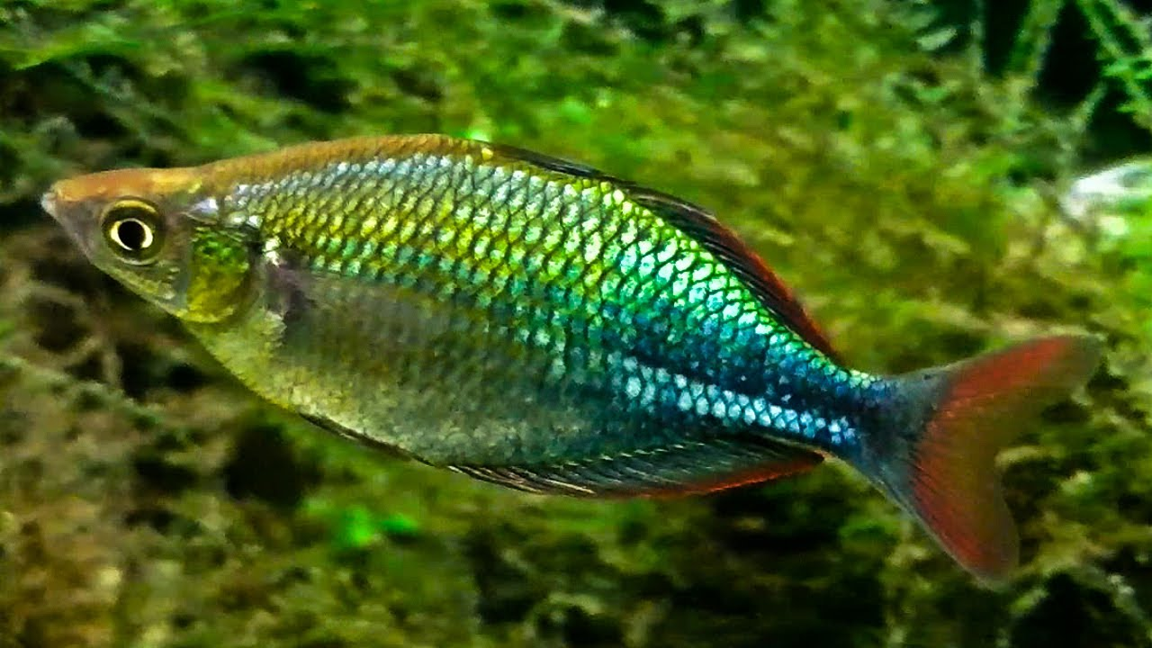 Emerald rainbow fish up close youtube for Rainbow fish care