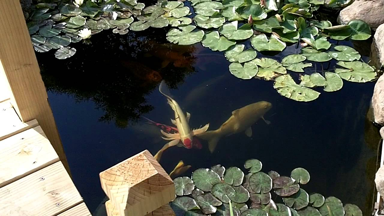 Rocky 39 S Japanese Koi Pond Zen Garden Chico California YouTube