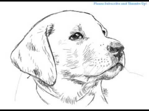 How to Draw a Handsome Labrador