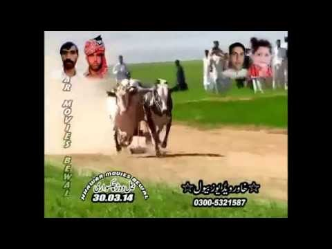 Bull race pakistan 2014