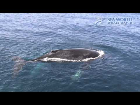 Humpback Whales in Crystal Clear Water - Sea World Whale Watch