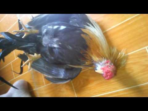 Cung cấp các giống gà tre Tân Châu-Tân Châu biết vâng lời